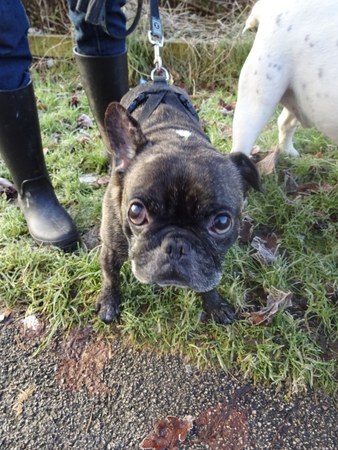 Handsome French Bulldog Claude